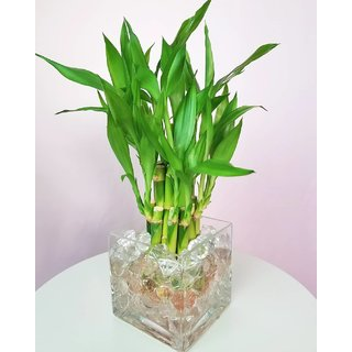 Sweet Bamboo Plant Seeds - 50 Seeds