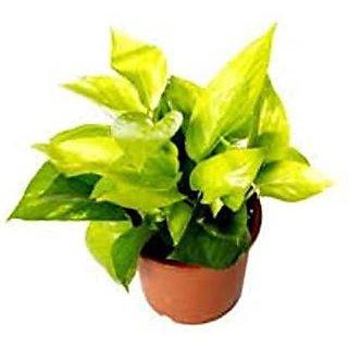 INFINITE GREEN Variegated Syngonium Live Natural Plant