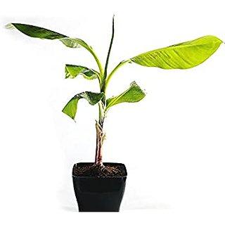 INFINITE GREEN Live Banana / Kela Fruit Plant - Pack of 1