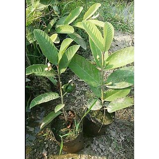 Earth Angels Live Sweet Banarasi GuavaAmrood Fruit Plant With Pot