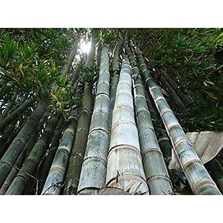 SHOP 360 GARDEN Rare Dendrocalamus giganteus, Dragon bamboo, Giant bamboo Seeds For Planting - Pack of 30 Seeds