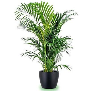 SHOP 360 GARDEN ARECA PALM SEEDS FOR PLANTING - PACK OF 15 SEEDS