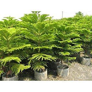 Araucaria Cunninghamii, Hoop Pine, Colonial pine Conifer Tree Seeds -25 Seeds