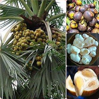 Borassus flabellifer / Doub palm / Palmyra palm / Tala palm / Toddy palm tree seeds - Pack of 1 big seed