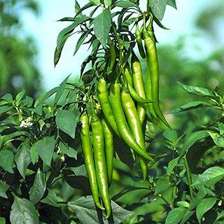 Dioart Chilli Seeds-557