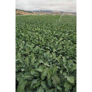 Dioart Broccoli Seeds  50 SEEDS 370