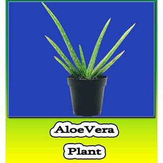Aloe vera Live Plant