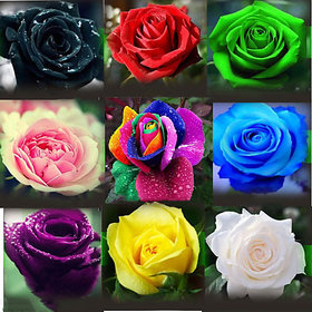 ROSE flower 9 DIFFERENT COLOURS 5 SEEDS EACH (45 seeds)