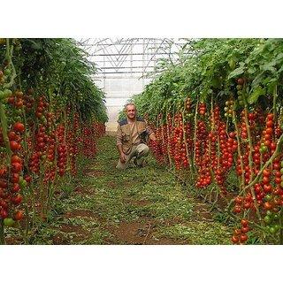 Multicolor Tomato Seed 30