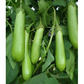 Seeds Green ChuChu Brinjal Super Quality Vegetables Seeds