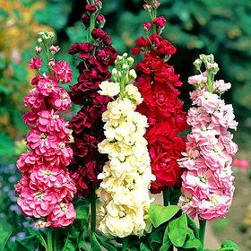 Seeds Stock Flkower Multi-Colour Hybrid Seeds