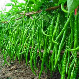 R-DRoz Chilli Best Quality Seeds