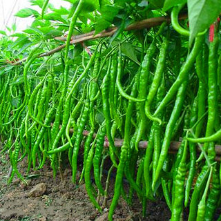 Chilli Seeds  For Kitchen Garden