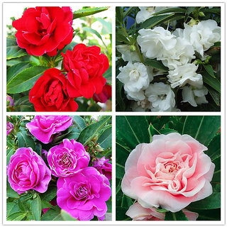 Balsam Flowers *Brother of Rose* 10x Quality Seeds For Home Garden - Pack of 30 Seeds