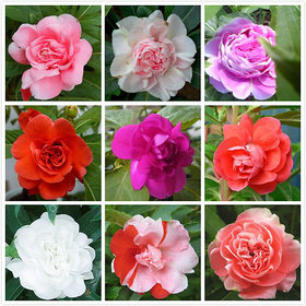 Seeds Balsam Mixed Colours Flowers *Brother of ROSE* Better Germination Flowers Seeds - Pack of 30 Seeds