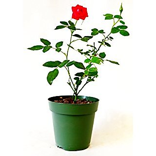 Live Red Rose Plant without Pot healthy  Fresh Nice Looking uses indoor or outdoor