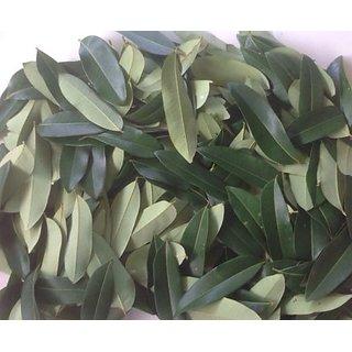 lakshmi Taru,paradise tree,simarouba glauca plant leaves 500 nos.(green  fresh)