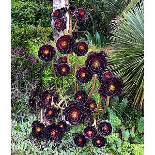 Futaba Rare Aeonium Flower Seeds - 200 Pcs