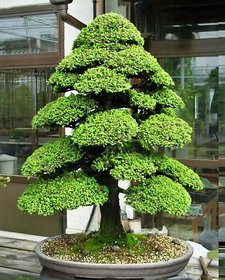 Bonsai Pine Tree Seeds