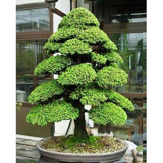 Bonsai Pine Tree Seeds