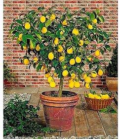 Fruit Seeds  Gandharaj Lemon Plant Seeds Fruit Seeds Dwarf Fruit Seeds Pack By Creative Farmer