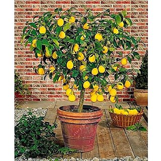 Fruit Seeds  Gandharaj Lemon Plant Seeds Fruit Seeds Dwarf Fruit Seeds Pack By Creative Farmer