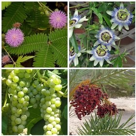 Dwarf Potted Fruit Herb Seeds Combo - Dates Passionfruit Grape Mimosa