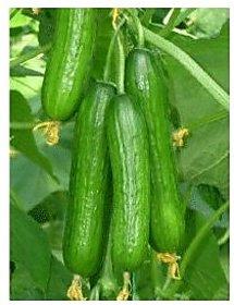 Cucumber Seeds -30 Seeds