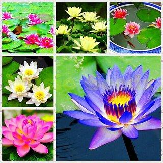 M-Tech Gardens Rare Bonsai Aquatic Mixed Varieties Lotus Flower 10 Seeds Pack