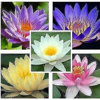 Buy M Tech Gardens Rare Bonsai Aquatic Mixed Varieties Lotus Flower