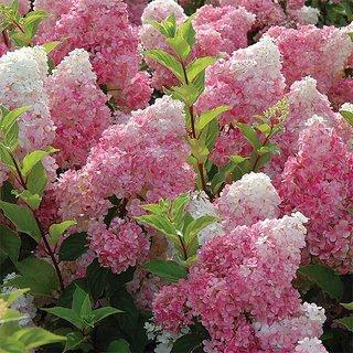 Futaba Hydrangea paniculata Vanilla Strawberry Seeds -10 Seeds