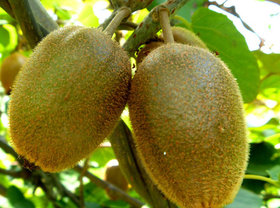 Futaba Kiwi Fruit Seeds - 40 Seeds