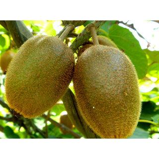 Futaba Kiwi Fruit Seeds - 40 Seeds