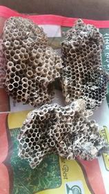 yellow bee nest / tattaiya ka chatta