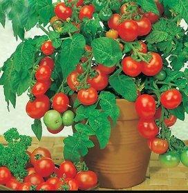 bonsai tomato seeds 20