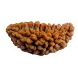 Original Natural Kaju 1 mukhi / Ek Mukhi / 1 Faced / Brown Rudraksha Bead