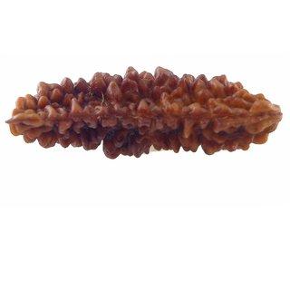 15.71mm 1 Face Rudraksha Kaju dana Nepal 1 Mukhi Rudraksha bead