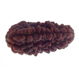 17.54mm 1 Face Rudraksha Kaju dana Nepal 1 Mukhi Rudraksha bead