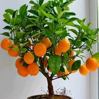 Bonsai Orange Tree Plant Seeds