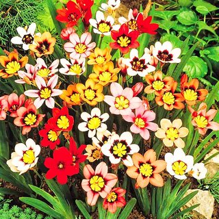 Going Greens Sparex Flower Bulbs Mix  Pack of 6 Bulbs