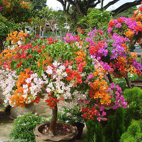 Rare Colorful Bougainvillea Spectabilis Willd Seeds Bonsai Flower Seeds - 20nos