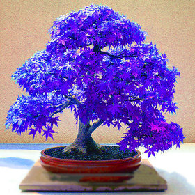 10Pcs Rare Blue Maple Seed Maple Seeds Bonsai Tree Plants Potted New