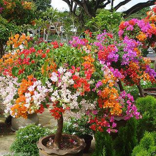 Primrose Rare Multicolor Bougainvillea Spectabilis Willd Flower Seeds For Bonsai