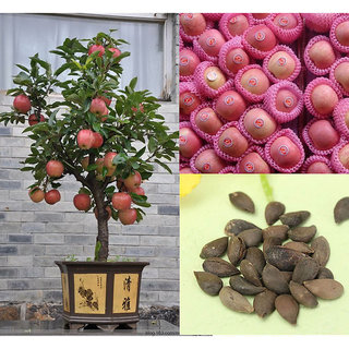PRIMROSE Imported Bonsai Red Apple Tree Indoor or Outdoor 10 Seeds