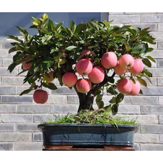 Seeds - Bonsai Mini Apple Bonsai Tree Home Grow Exotic Multicolor Plant