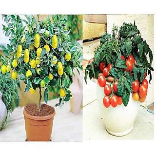 Imported Bonsai Lemon  + Cherry Tomato Tree Plant Seeds