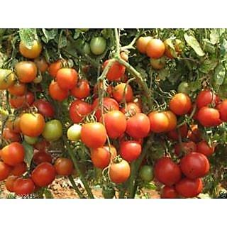Hybrid F1 Tripple Disease resistant  Arka Samrat  Tomato Seed - 25 Seeds
