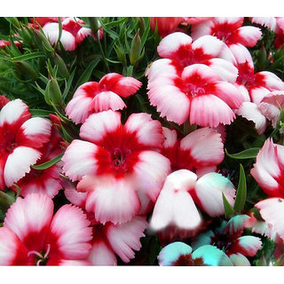 Futaba Dianthus Spooky Flower Seeds - White and Pink -100 Pcs