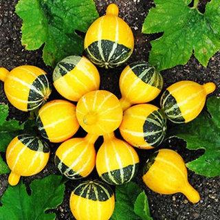 Futaba Rare Chinese Pumpkin Seeds - 30 Pcs