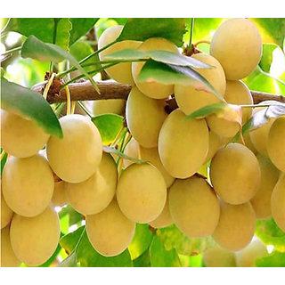 Futaba Organic Ginkgo Biloba Fruit Seeds - 5 Pcs